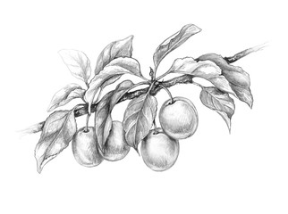 Plum Branch  Pencil Drawing