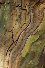 Sycamore bark textured background. Colorful saturated bark.