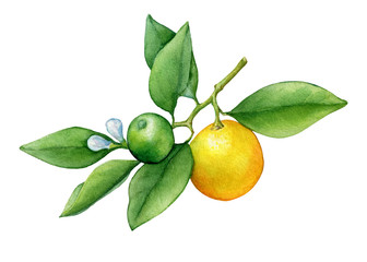 Fresh citrus fruit round cumquat (also called Marumi or Morgani kumquat) on a branch with orange fruits and green leaves. Watercolor hand drawn painting illustration isolated on a white background.