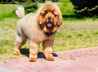 Tibetan Mastiff  puppy stands.The Tibetan Mastiff is in the park on the green grass.