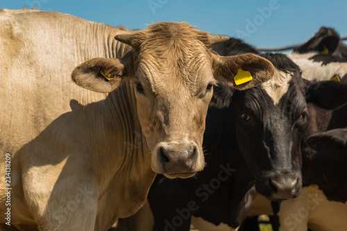 Wall mural Cattle at close