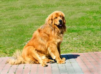 Tibetan Mastiff seats. The Tibetan Mastiff is in the park on the green grass.