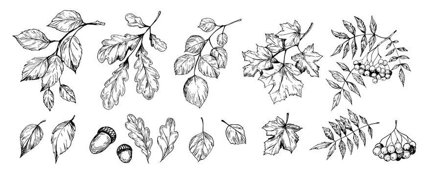 Set of trees brunches and leaves: rowan, birch, oak, aspen, poplar