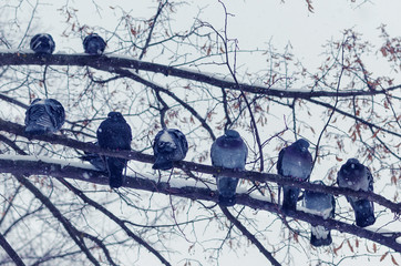 A flock of frozen pigeons sitting on a branch in the winter during a snowfall