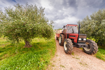 Olive picking in Italy. Tractor takes out the harvest