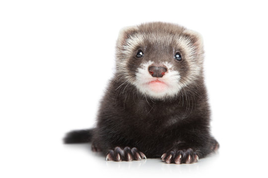 Ferret puppy on white background