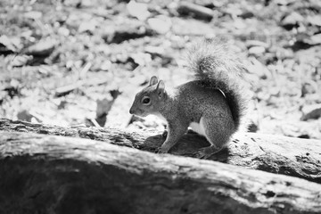 Black and white grey squirrel