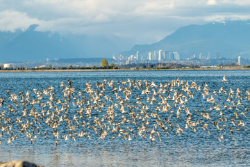 Fling of sandpipers looking at Vancouver B.C.