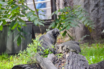 the cat manul fluffy sits on a snag behind a bush