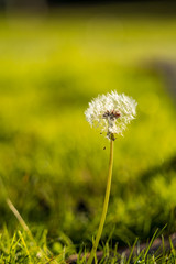 single dandelion flower with creamy green background