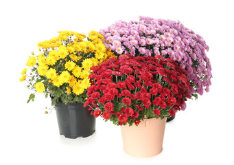 Pots with beautiful colorful chrysanthemum flowers on white background
