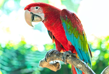 Fond de hotte en verre imprimé Perroquets Portrait colorful Macaw parrot on a branch. This is a bird that is domesticated and raised in the home as a friend