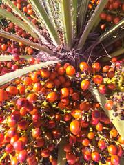 Tropical palm tree with orange fruits