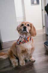Golden spaniel dachshund mix dog at home with bandana