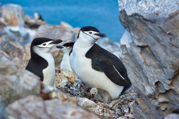 Chinstrap penguins on Antarctica