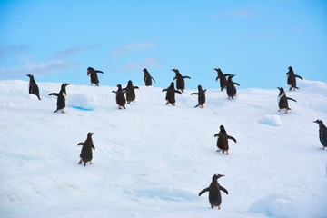 Group of penguins running and jumping from the iceberg in Antarctica