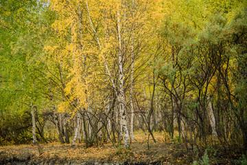 Trees in Siberia, Fall (Altai)