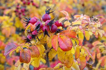 Rosa rugosa con frutos rojos en otoño.