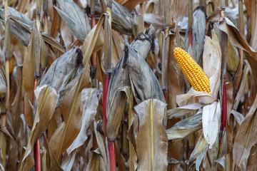 Mazorcas de maíz. Maizal. Cultivo agrícola.