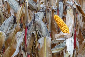 Plantas con mazorcas de maíz. Maizal. Cultivo agrícola.