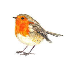 European robin (Erithacus rubecula,  robin redbreast)  standing isolated watercolor illustration