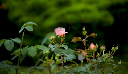 Photo rose petals isolated on the natural blurred background. Closeup. For design, texture, background. Nature.