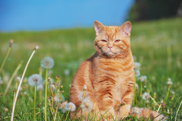 Portrait of a little kitten in the dandelion field among blowballs. Cat enjoying spring