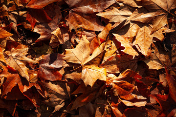 Background of autumnal leaves