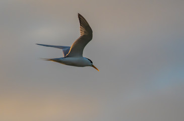 Crested Tern in the Early Morning Light
