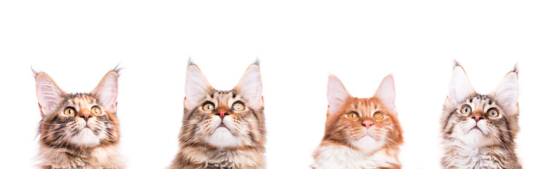 Collage of head cats Maine Coon. Close-up studio photo of portrait cats looking up -  isolated on white background.