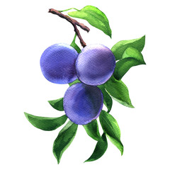 Branch with three ripe plums and leaves isolated, blue tasty fruits, hand drawn watercolor illustration on white