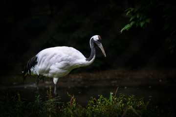 dramatic crane in a forest pond