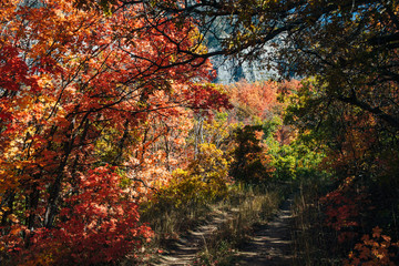 Path in bright fall maple trees