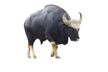 gaur (bos gaurus) on a white background save path