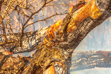 Wall Mural - Close-up of burning tree trunk in South Africa. Dangerous fires and smokes in dry season. African background with burned wilderness. Conceptual climate change.
