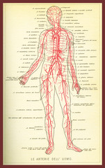 Vintage color table of anatomy, arteries and blood circulation with  anatomical descriptions in italian