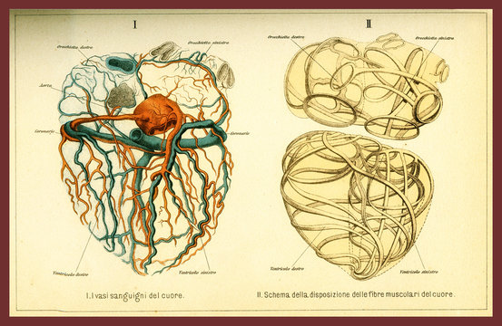 Vintage color table of anatomy, human heart muscular fibers and blood circulation with  anatomical descriptions in italian
