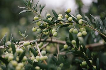 Olives Tree Arbequina