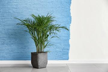 Wall Mural - Decorative Areca palm near color wall