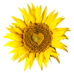 Sunflower with seeds in shape of heart inside it on white background. Clipping path.
