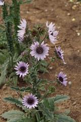 Berkheya purpurea Zulu worrior