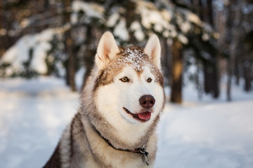 Profile portrait of beautiful Beige and White Siberian husky dog is on the snow in the winter forest