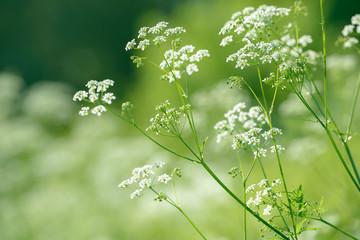 Foto auf AluDibond Aromastoffe Anise flower field. Food and drinks ingredient.