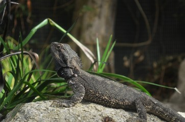 Native New Zealand tuatara reptile on a stone