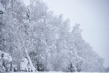 Winter forest with spruce covered snow. Frozen forest with snow.