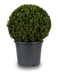 Isolated image of a spherical privet bush