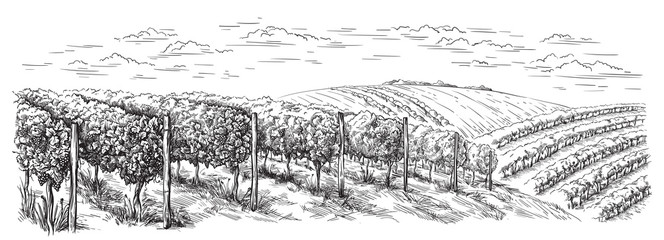 vine plantation hills, trees, clouds on the horizon vector illustration