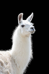 Photo sur Aluminium Lama Portrait of a white llama Lama glama isolated on black background