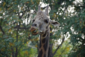 Giraffe Eating in The Zoo
