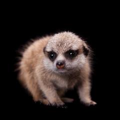 The meerkat or suricate cub, 1 month old, on black